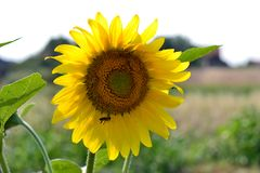 Sunflower with bees in pollination. Sunflower in the field with bees on them in pollination process royalty free stock photo