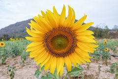Sunflower in the field. The big sunflower is planted in the field stock photography