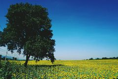 Sunflower field with big tree Stock Photos