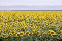 Sunflower Field in Bloom. Stock Photos