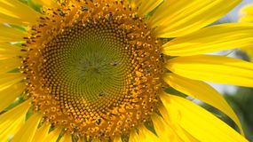Sunflower. Field blooming in the garden Royalty Free Stock Image