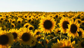 Sunflower field. Sunflower blooming in the field in summer Stock Image