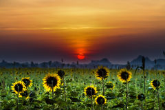 Sunflower. Field of blooming sunflowers on a background sunset Royalty Free Stock Image