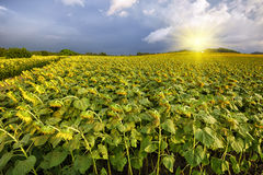 Sunflower. Field of blooming sunflowers on a background sunset Stock Image