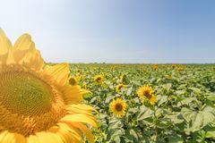 Sunflower, Field of blooming sunflowers. Agriculture royalty free stock photo