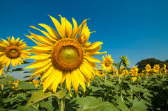 Sunflower field. Sunflower blooming in sunny day in Thailand Stock Photo