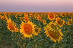 Sunflower field blooming at sunrise near Denver International Ai royalty free stock photo