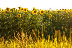 Sunflower field. Is blooming at sunset next to grass Royalty Free Stock Image