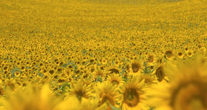 Sunflower, field in blossom Stock Photos