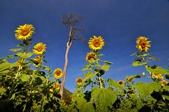 Sunflower field and blue sky Royalty Free Stock Photo