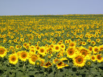 Sunflower field with blue sky Stock Image