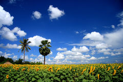 Sunflower field and blue sky. Beautiful sunflower field and blue sky Stock Image