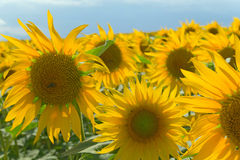 Sunflower field on blue sky Stock Images