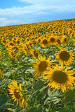 Sunflower field on blue sky Royalty Free Stock Photography