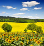 Sunflower field. With blue sky Stock Photo
