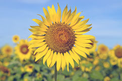 Sunflower field with blue sky Royalty Free Stock Photography