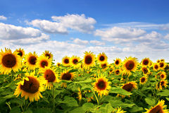 Sunflower field with blue sky. Lots of beautiful sunflowers on a field with blue sky and white clouds Stock Images