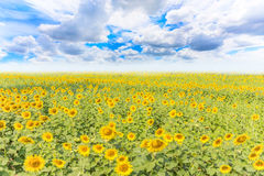 Sunflower field and blue sky background Royalty Free Stock Images