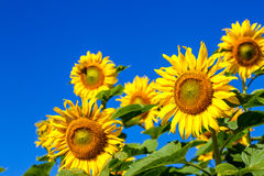 Sunflower in field with blue sky background and sunny. Sunflower in field over blue sky background and perfect sunny day stock photography