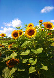Sunflower field and blue sky Stock Images