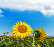 Sunflower on field and blue sky with clouds Stock Images