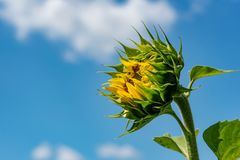 Sunflowers background and blue cloudy sky.  Landscape with sunfl Stock Photography