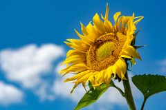 Sunflowers background and blue cloudy sky.  Landscape with sunfl Royalty Free Stock Images