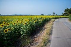Sunflower field. In blue sky day. Roadside Stock Images