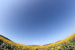 Sunflower field with blue sky fish eye lens view Stock Photography