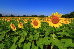 Sunflower Field. With blue sky and forest background Royalty Free Stock Images