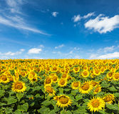 Sunflower field and blue sky Royalty Free Stock Photos