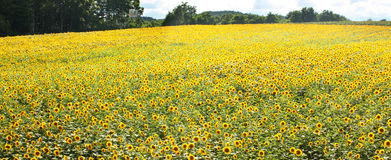 Sunflower field and blue sky. Photo was taken in Furano of hokkaido royalty free stock photos