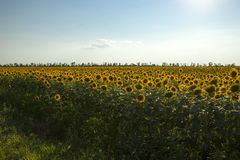 Sunflower field with blue sky stock photo