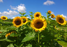 Sunflower field and blue sky on summer Royalty Free Stock Photos