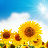 Sunflower on field and blue sky Royalty Free Stock Photos