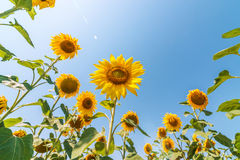 Sunflower on field and blue sky with sun Royalty Free Stock Images