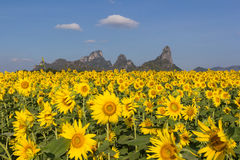 Sunflower field. With blue sky ,thailand Stock Image