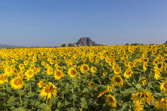 Sunflower field. With blue sky ,thailand Royalty Free Stock Images