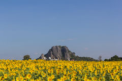 Sunflower field. With blue sky ,thailand Royalty Free Stock Photos