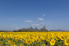 Sunflower field. With blue sky ,thailand Royalty Free Stock Photo
