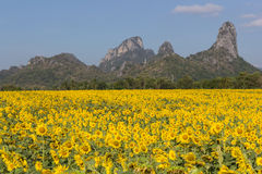 Sunflower field. With blue sky ,thailand Stock Photography