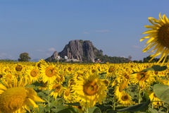Sunflower field. With blue sky ,thailand Royalty Free Stock Photography