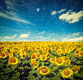 Sunflower field and blue sky Stock Photography