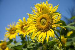 Sunflower in the field with blue sky1 Stock Images