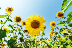 Sunflower on field Royalty Free Stock Images