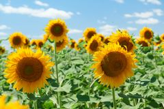 Free Sunflower Field - Bright Yellow Flowers, Beautiful Summer Landscape Stock Photo - 154629010