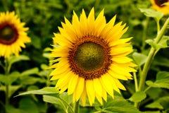 Sunflower field. Stock Photos