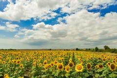 Sunflower field, Bulgaria. Royalty Free Stock Photo