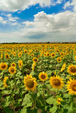 Sunflower field, Bulgaria. Stock Images