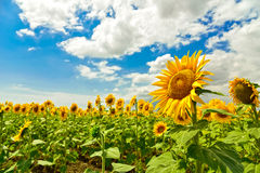 Sunflower field, Bulgaria. Royalty Free Stock Images